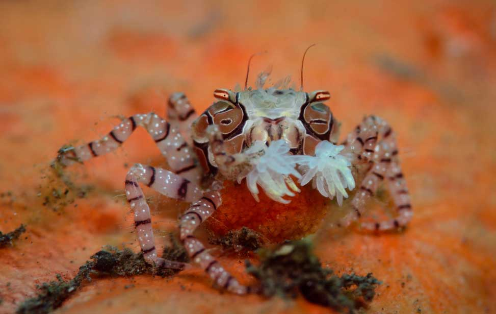 8 Facts About The Pom-pom Crab